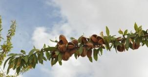 Şanlıurfa'da badem hasadı yapıldı