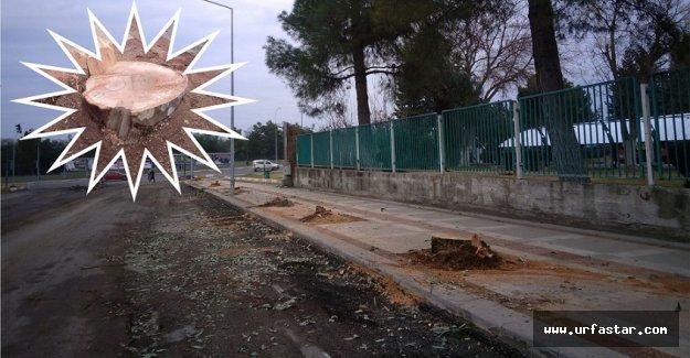 Urfa'da ağaç katliamı!