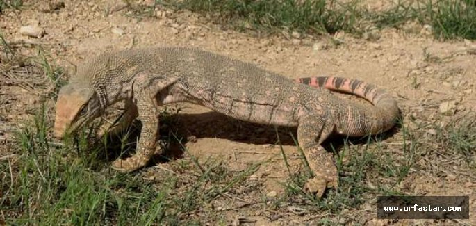 Urfa'da Çöl Varanı görüldü