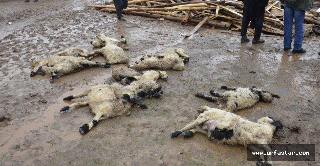40 koyun ve kuzu telef oldu