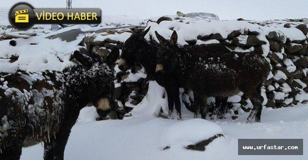 Urfa'da eşekler yine buz tuttu