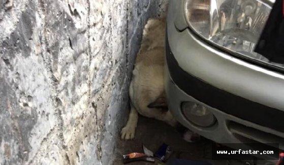 Köpek duvar ile otomobil arasında sıkışınca...