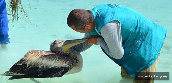 Pelikan İçin 500 Kilometre Kat Ettiler