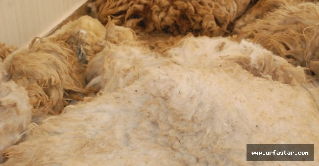 Urfa'da yapağı ihalesi yapıldı