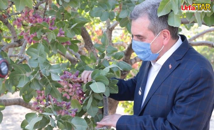Urfa'da fıstık hasadına katıldılar