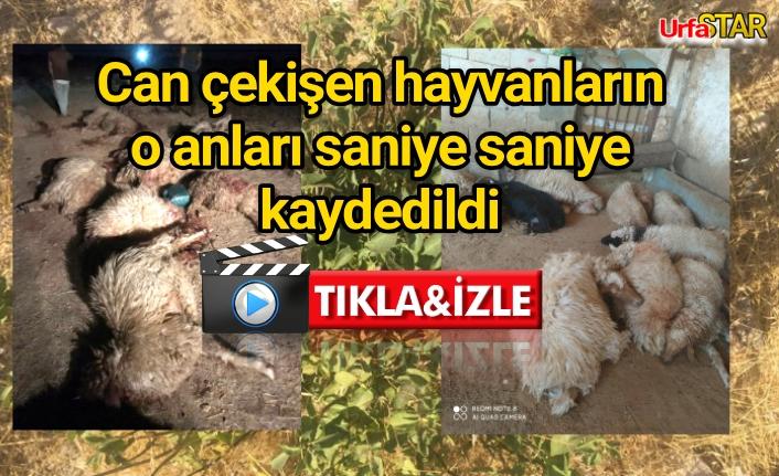 Urfa'da 150 koyun telef oldu
