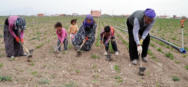 Çoluk çocuk tarlalardalar!