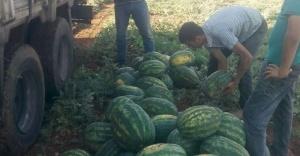 Urfa'da karpuz zamlandı