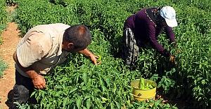 Urfa'da isot hasadı başladı