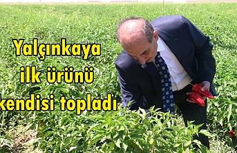Akçakale'de isot hasadı başladı