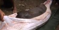 Dev yılanın karnından domuz çıktı