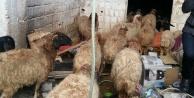 Koyun hırsızları yakalandı