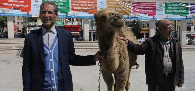 Topçu meydanına getirilen deve şaşırttı