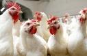 Tavukların kanadında virüs tespit edildi