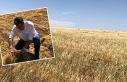 Urfalı çiftçileri üzen gelişme!