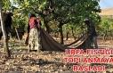 Urfa'da fıstık hasadı başladı