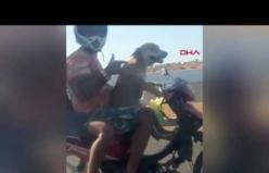 Motosikleti köpek kullandı
