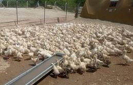 Urfa'da kaz satışları başladı