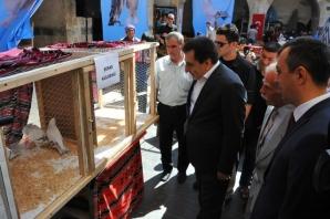 Urfa'da en güzel güvercin seçiliyor
