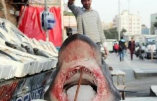 Urfa'ya köpek balığı getirildi