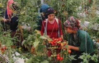 Sera domatesleri elde kaldı