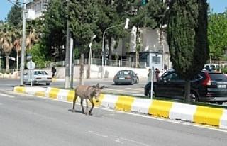Urfa trafiğinde şaşırtan manzara