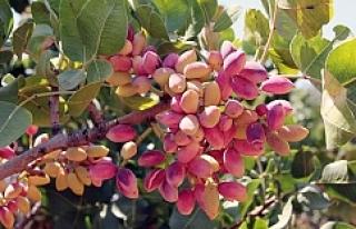 Urfa'da daha fazla fıstık yetiştirecekler