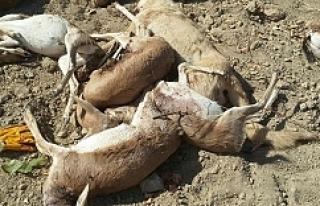Urfa'da ceylanlara saldırı! 11 Ceylan...