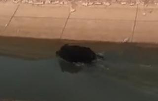 Urfa'da domuz görüldü