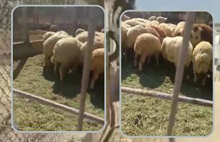 TİGEM'de koyunlar yine gözaltına!