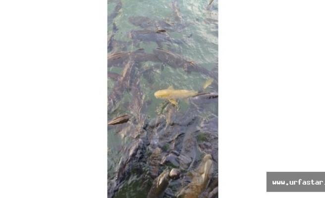 Balıklıgöl'de 'sarı balık' heyecanı