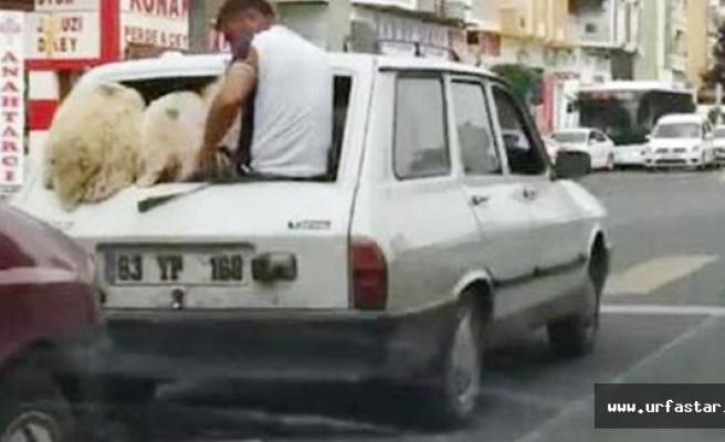 5 koyun + 1 yolcu + 1 şöför…
