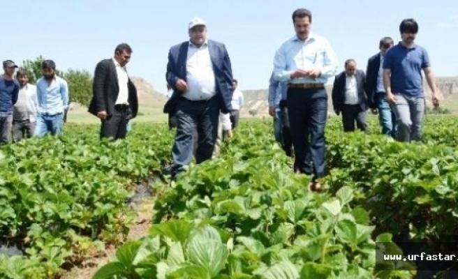 Urfalı çiftçi Aksaray'da ilki başardı