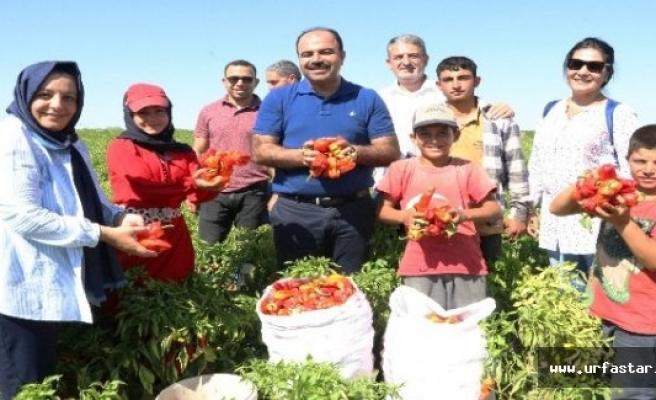Çiftçi, isot hasadına katıldı