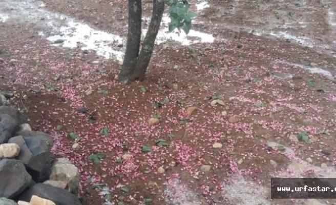 Dolu Fıstık Ağaçlarını Vurdu