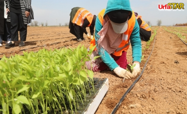 Urfa BŞB yerli tohumla kendi biberini yetiştiriyor