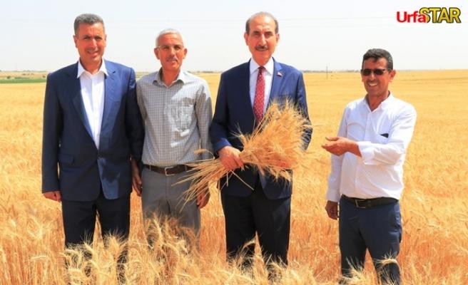 Yalçınkaya buğday hasadına katıldı