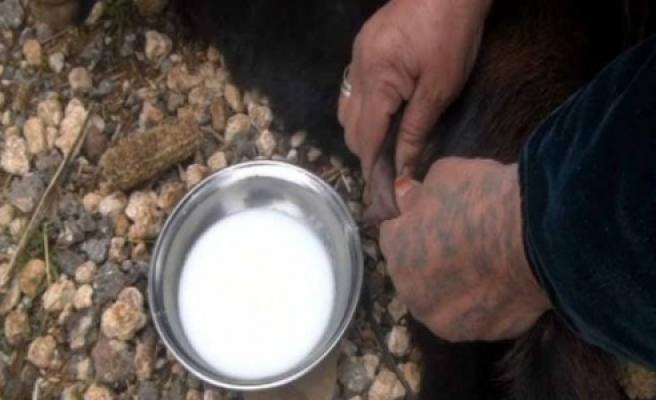 Yeni doğan keçi yavrusu süt veriyor