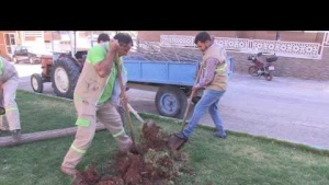 Yeni ağaçlar toprakla buluşuyor